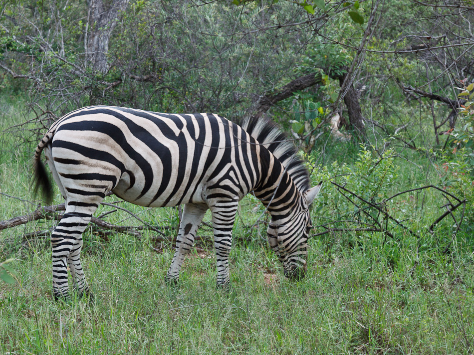 Zebra | Edeni Private Game Resort