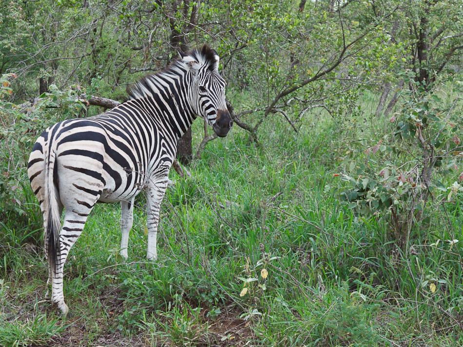 Zebra | Edeni Private Game Resort