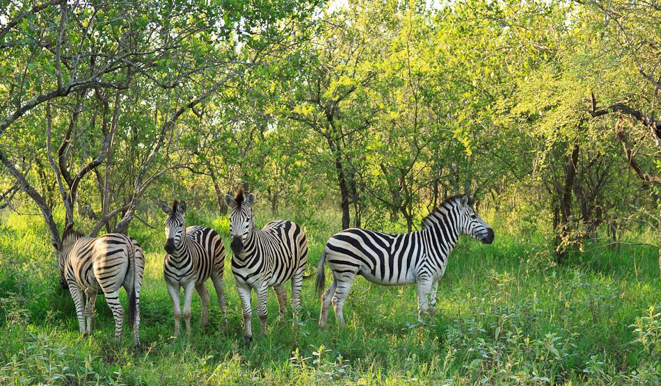 Zebra's | Edeni Private Game Resort