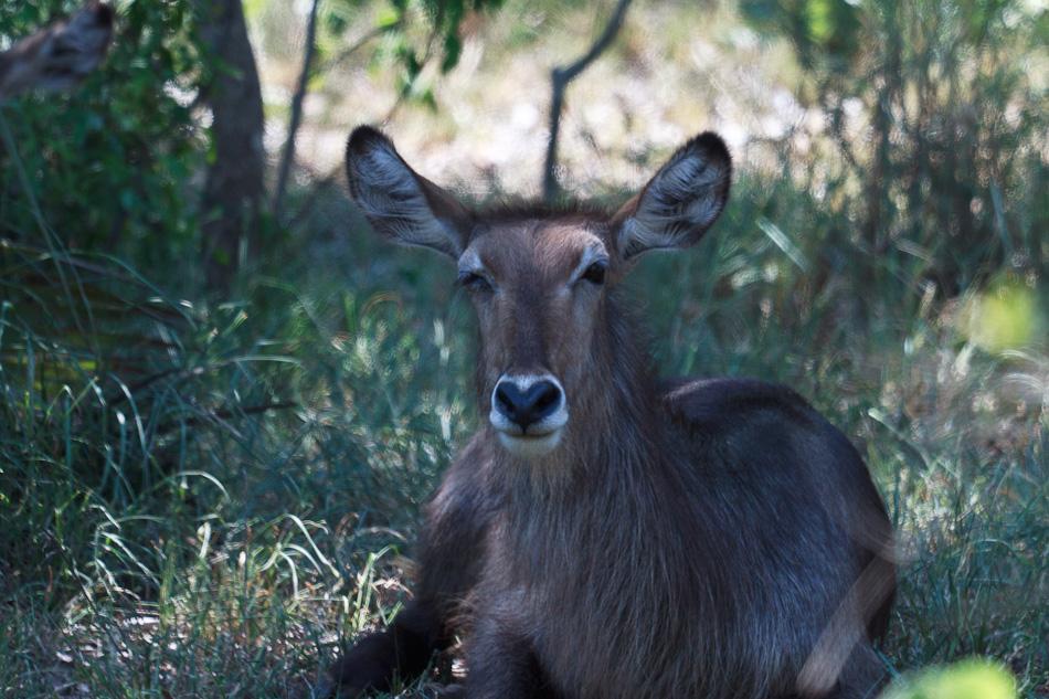 Waterbok| Krugerpark, Shingwedzi