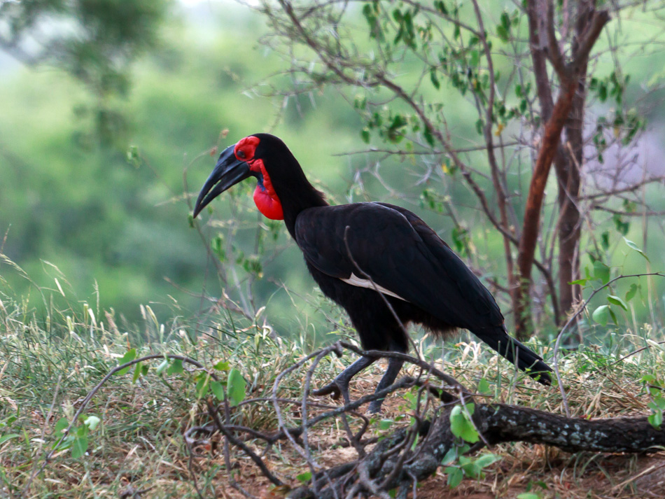Zuidelijke Hoornraaf | Krugerpark, S52, Shingwedzi