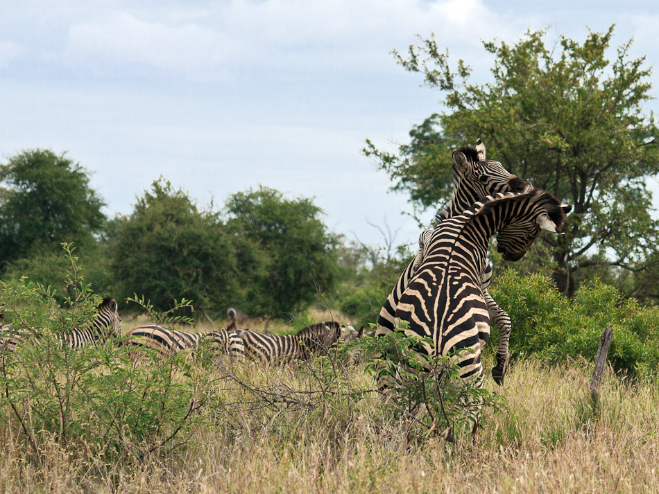 Zebra's | Balule, Krugerpark