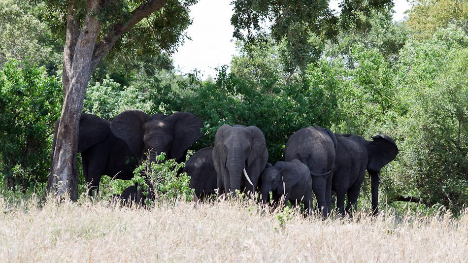 Olifanten | Balule, Krugerpark