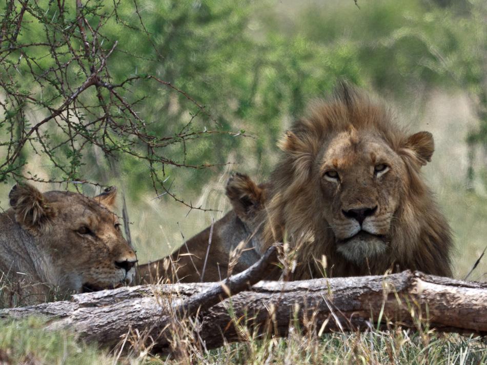 Leeuwen | Balule, Krugerpark