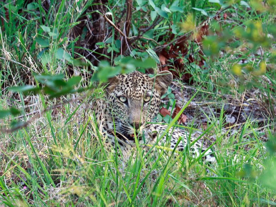 Luipaard | Balule, Krugerpark