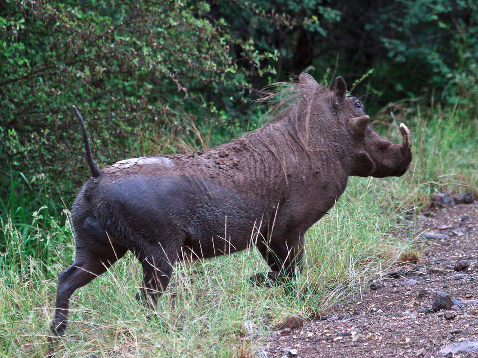 Wrattenzwijn | Balule, Krugerpark