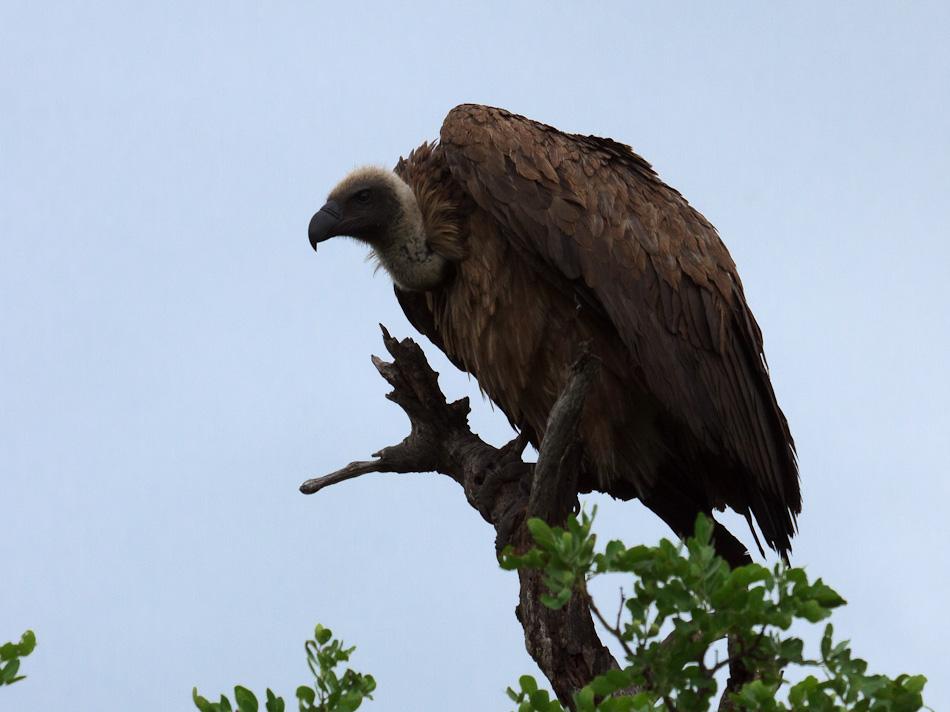 Witruggier | Krugerpark, Balule , 2012