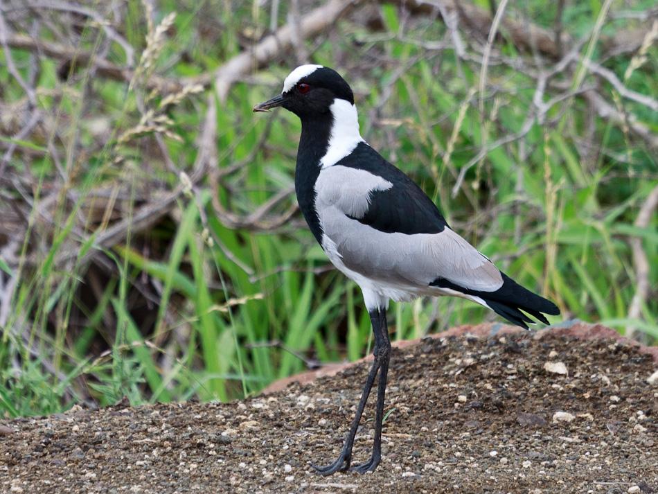 Smidsplevier |Krugerpark, Balule , 2012