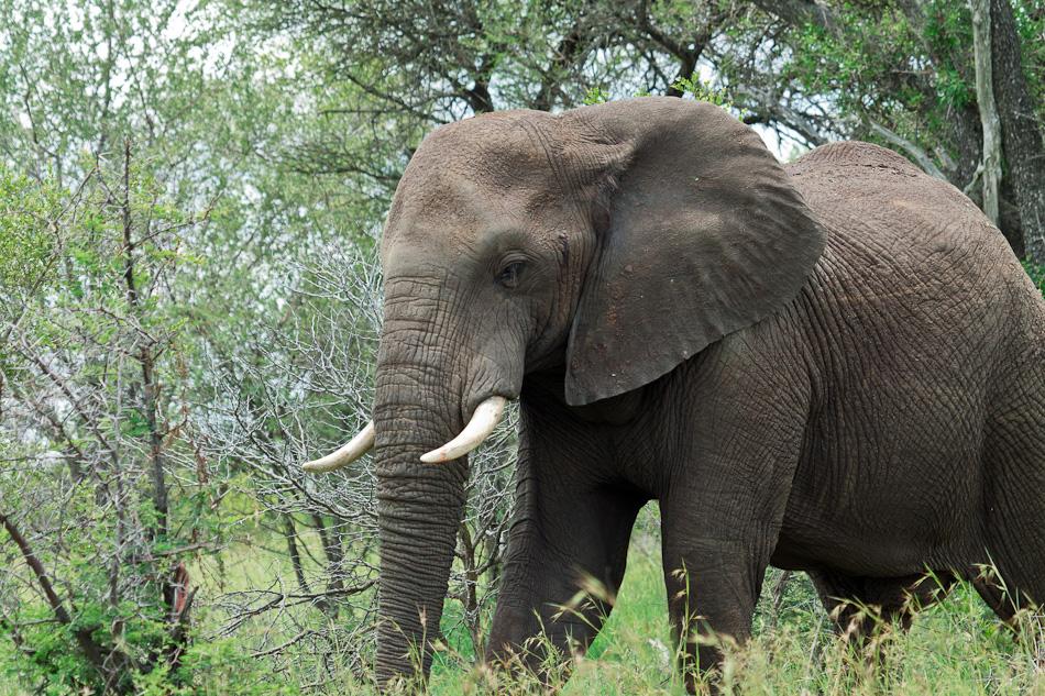 Olifant | Krugerpark, Balule , 2012