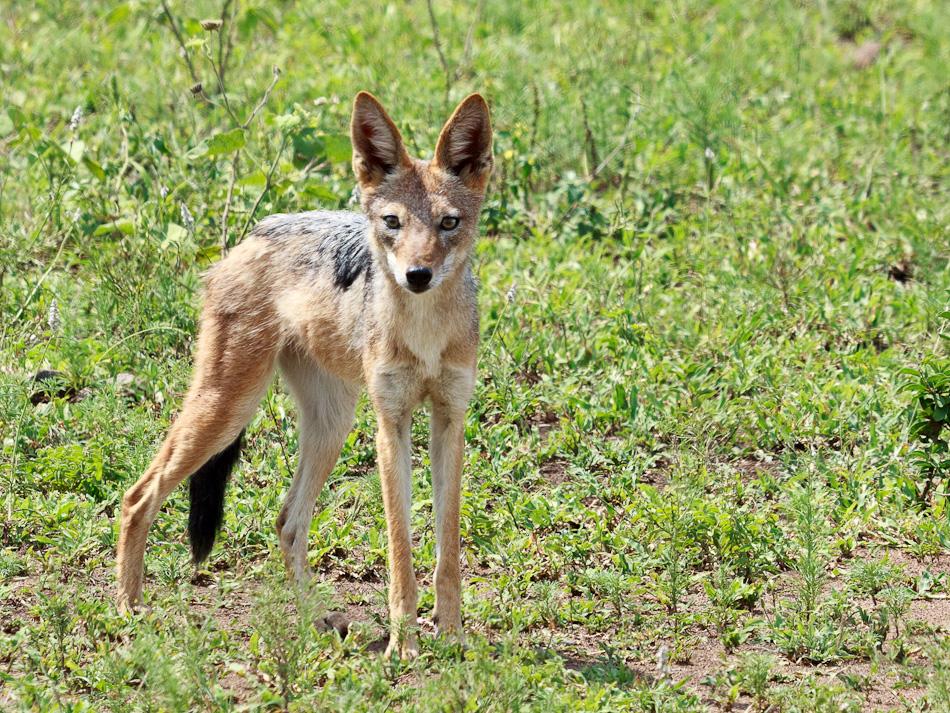 Jakhals | Krugerpark, Balule , 2012