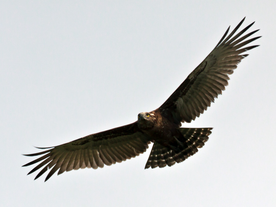 Geelsnavelwouw | Krugerpark, Tamboti, 2012