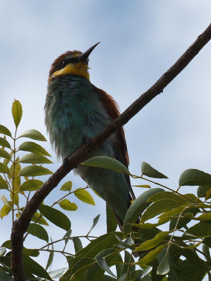 Europese-Bijeneter | Krugerpark, Tamboti, 2012