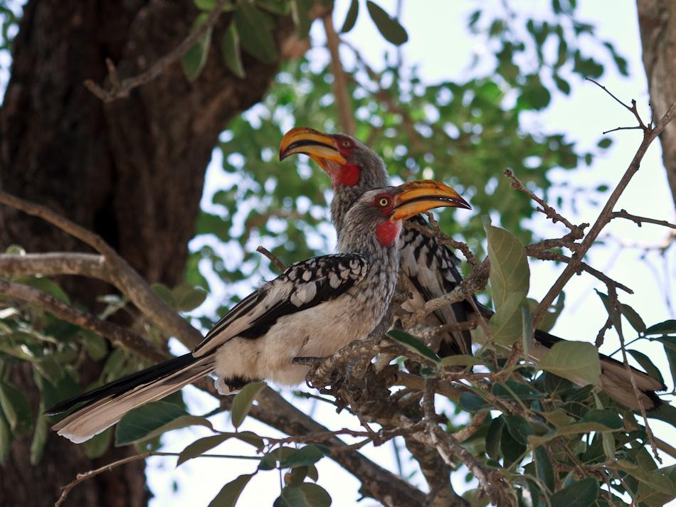 Geelsnaveltok | Krugerpark, Tamboti, 2012