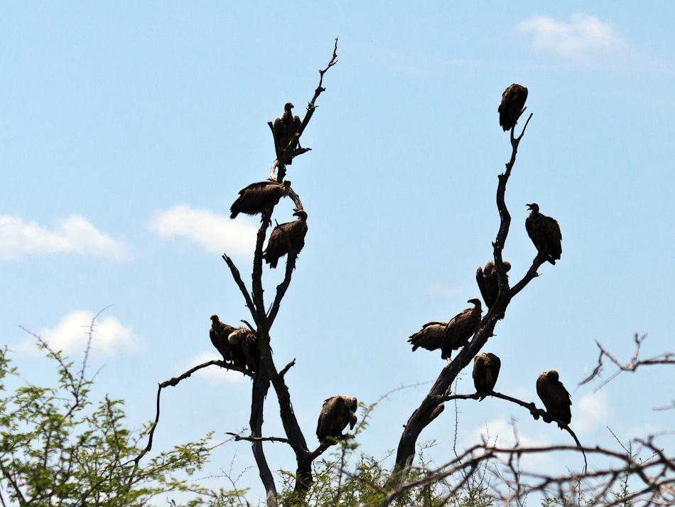 Witruggieren | Krugerpark, Tamboti, 2012