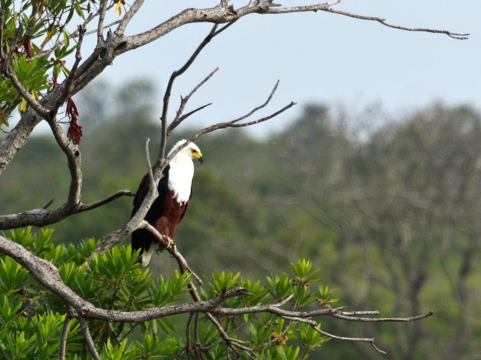 Zeearend |Krugerpark, Skukuza, 2012