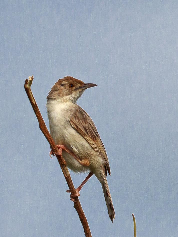 Vale-Vliegenvanger | Krugerpark, Skukuza, 2012