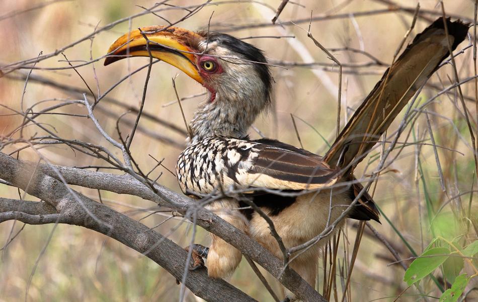 Geelsnaveltok | Balule, Krugerpark
