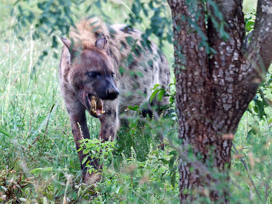 Hyena | Krugerpark