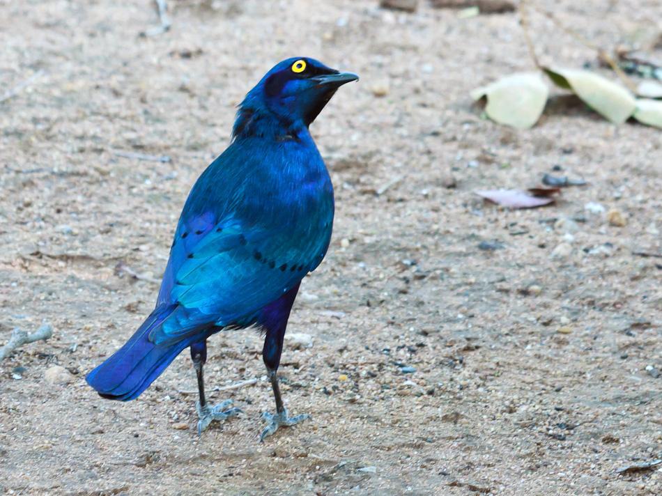 Roodschouder-Glansspreeuw | Krugerpark, Shingwedzi