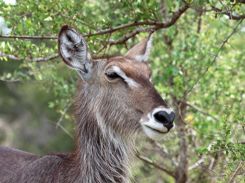 Waterbok | Balule, Krugerpark