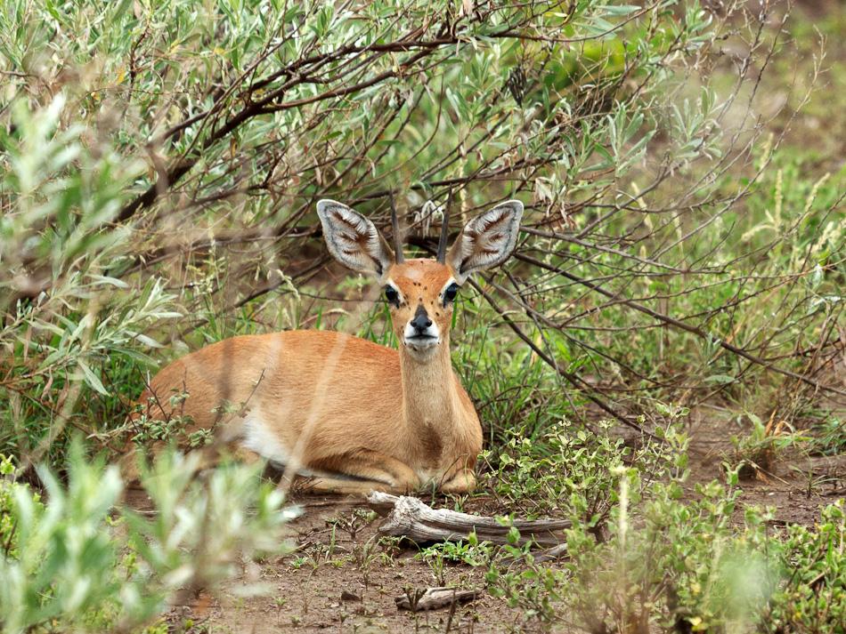 Steenbok |Krugerpark, Balule , 2012