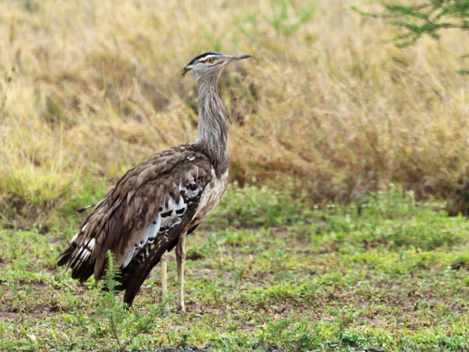 Kori-trap |Krugerpark, Balule , 2012