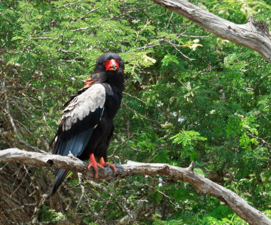 Bateleur | Krugerpark, Balule , 2012