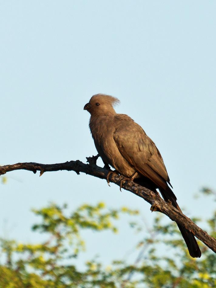 Toerako | Krugerpark, Tamboti, 2012