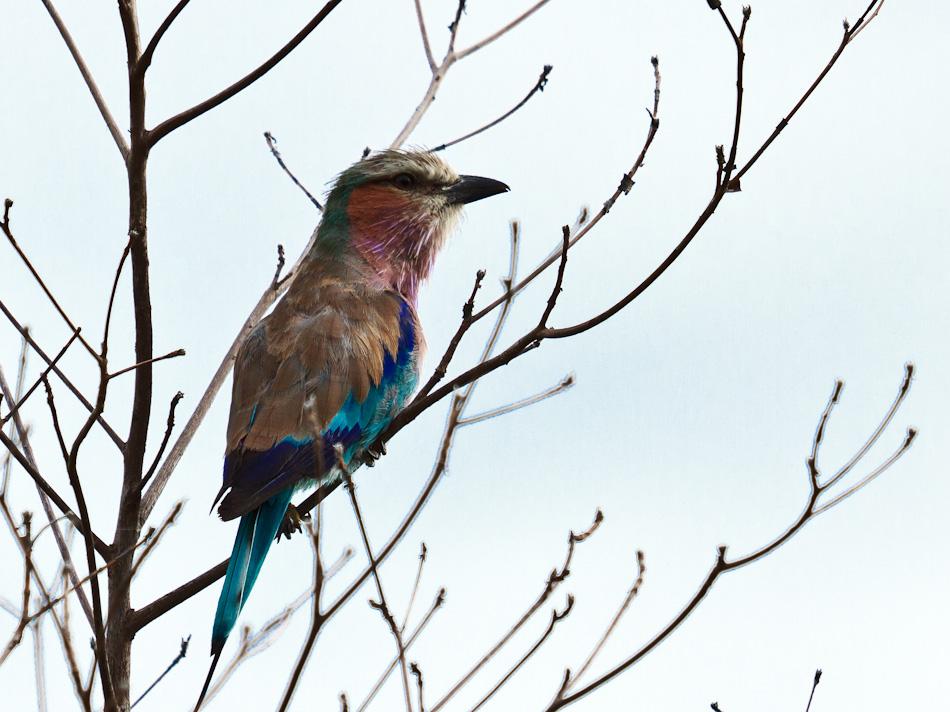 Vorkstaart-Scharrelaar | Krugerpark, Tamboti, 2012