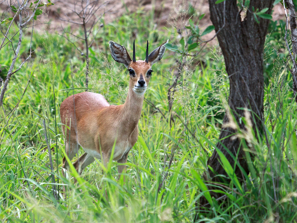 Steenbok |Krugerpark, Tamboti, 2012