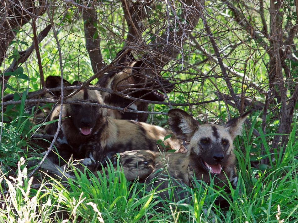 Wilde Honden | Krugerpark, Tamboti, 2012