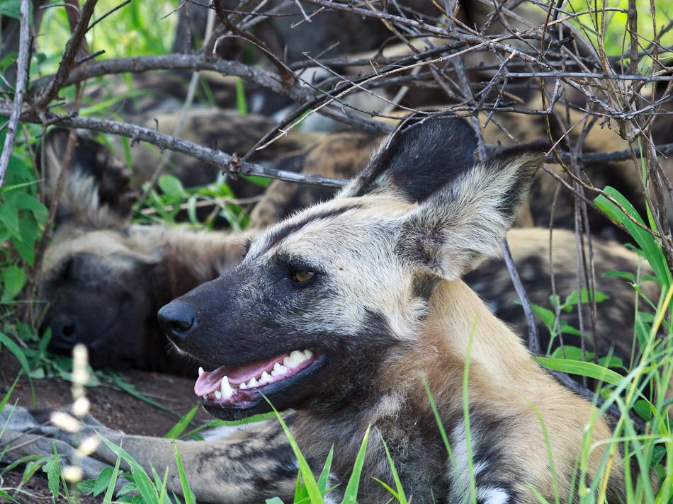 Wilde Honden |Krugerpark, Tamboti, 2012