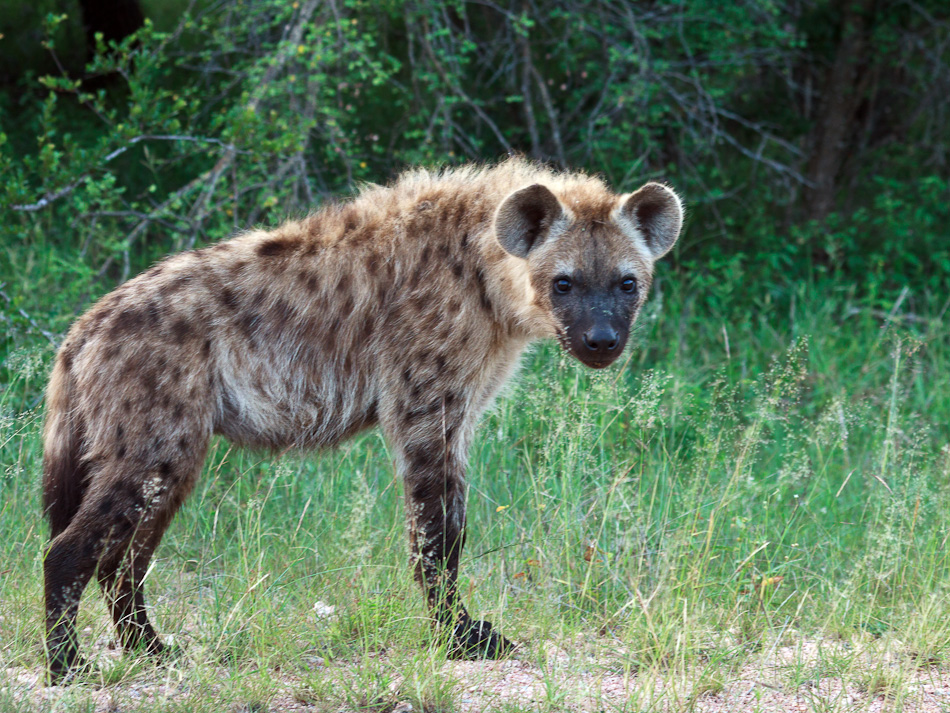 Hyena |Krugerpark, Tamboti, 2012