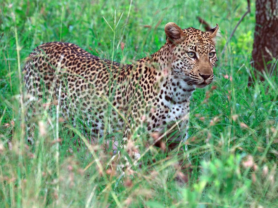 Luipaard |Krugerpark, Tamboti, 2012