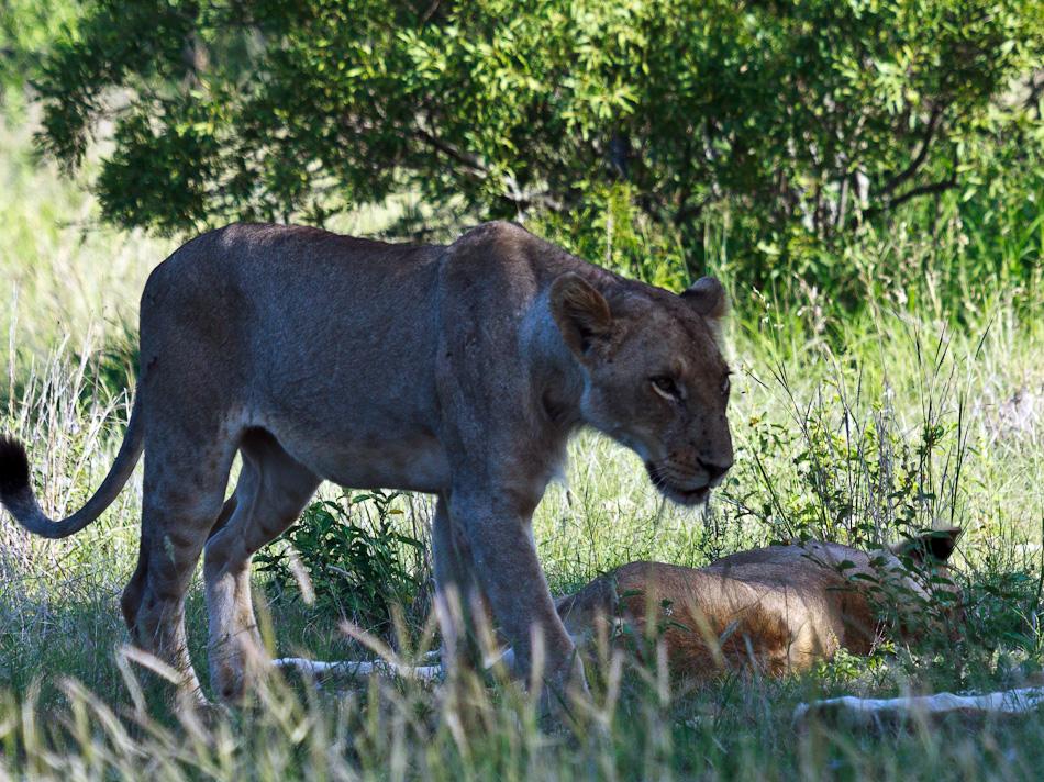 Leeuw | Krugerpark, Tamboti, 2012