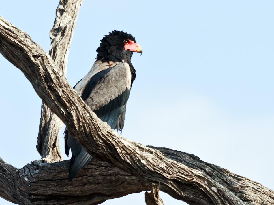 Bateleur | Krugerpark, Tamboti, 2012