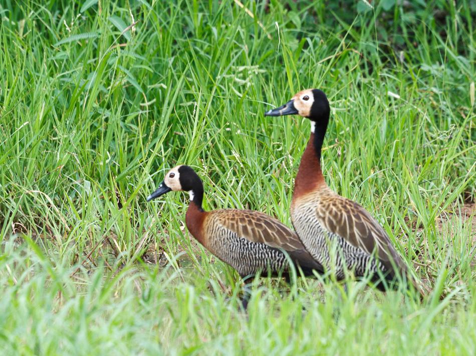 Witwangfluiteend |Krugerpark, Skukuza, 2012