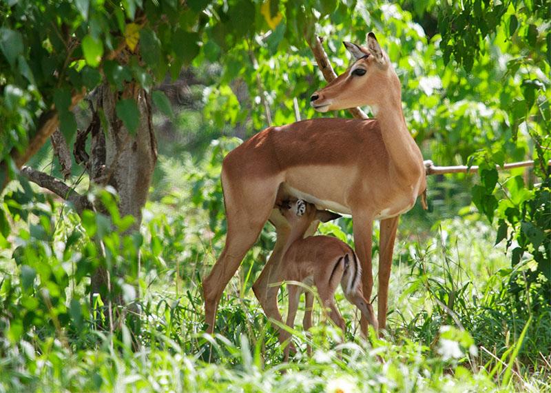 Impala | Krugerpark, Shingwedzi