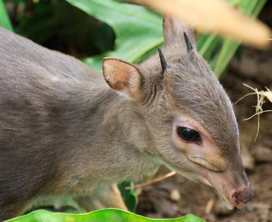 Blauwe Duiker | Cango Wildlife, 8 januari 2011
