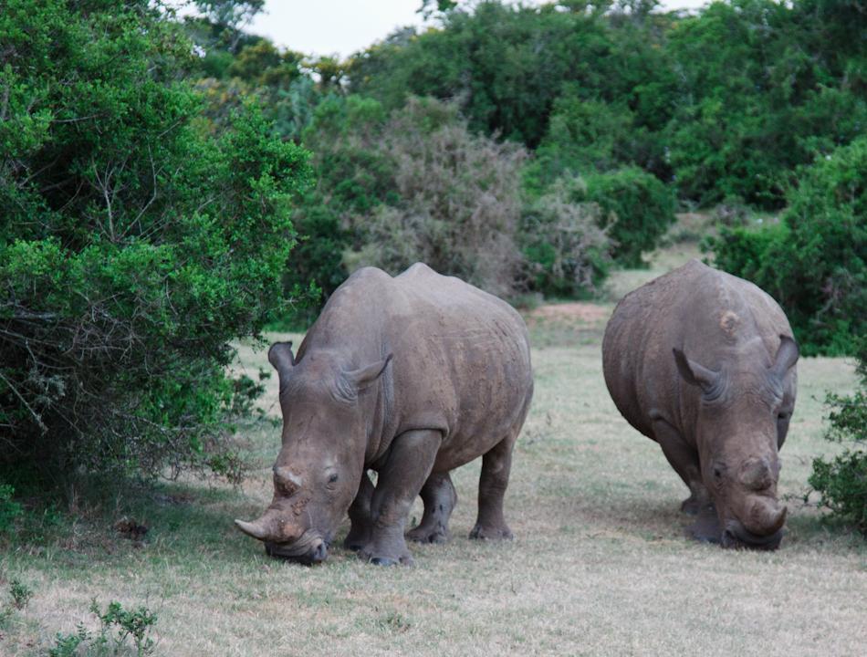 Neushoorn | Schotia Safaris, 12 januari 2011