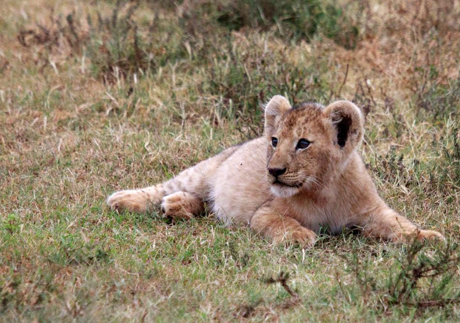 Leeuw | Schotia Safaris, 12 januari 2011