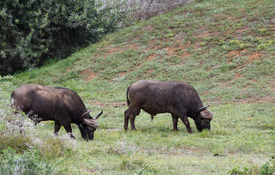 Buffels | Addo Elephant National Park, 13 januari 2011