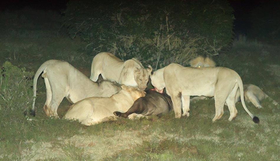Leeuwen, Schotia Safaris Game Reserve, Zuid-Afrika