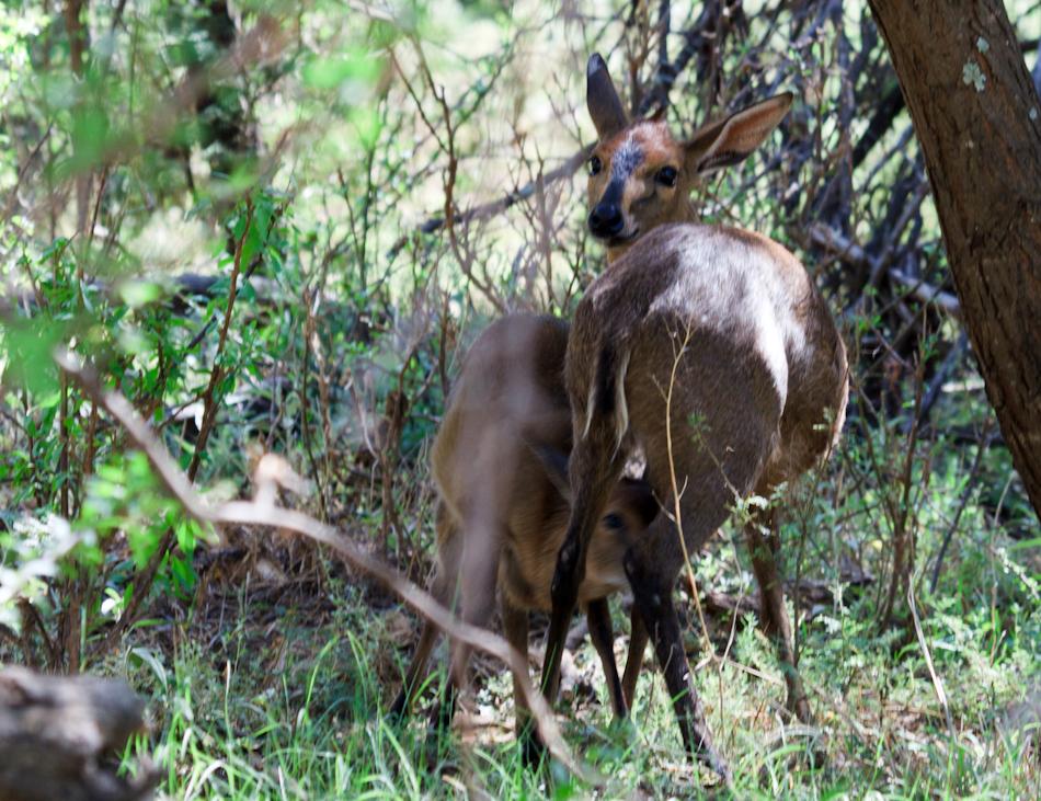 Gewone Duiker | Camdeboo National Park, 8 januari 2011