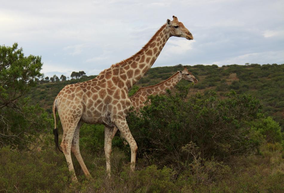 Giraffe | Schotia Safaris, 12 januari 2011