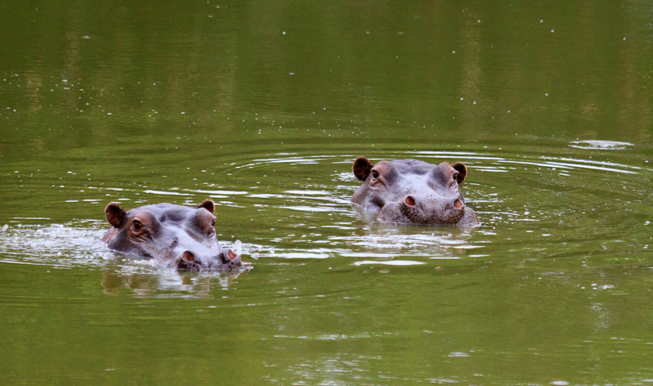Nijlpaarden |Buffelsdrift, 12 januari 2011