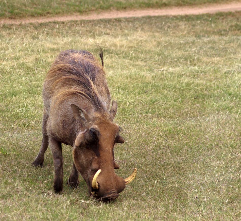 Wrattenzwijn | Schotia Safaris, 12 januari 2011