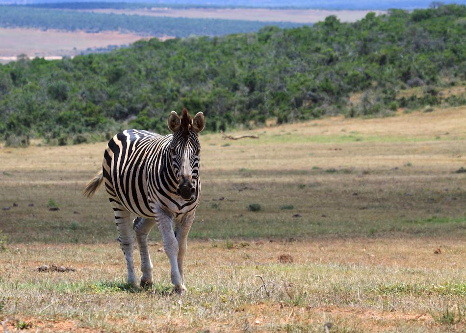 Zebra | Addo Elephant National Park, 13 januari 2011