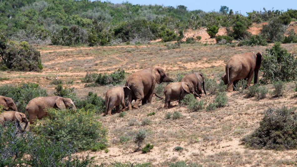 Olifanten | Addo Elephant National Park, 13 januari 2011