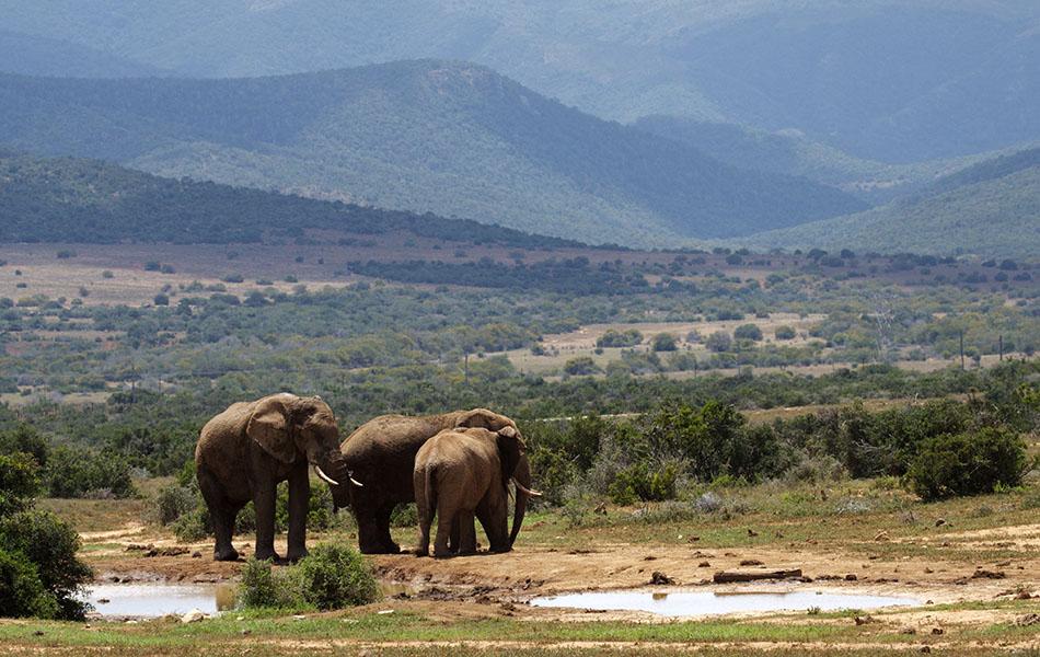 Olifant | Addo Elephant National Park, 13 januari 2011